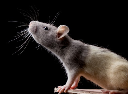 ratwhiskers.png