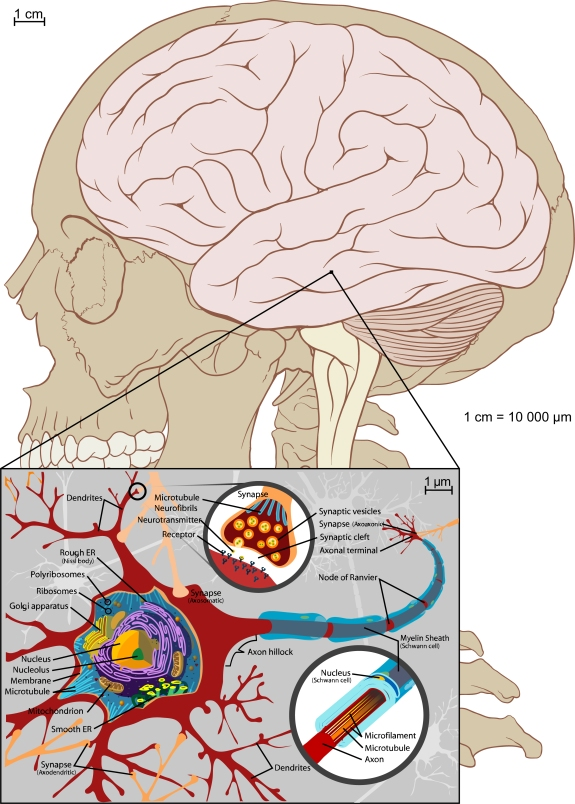 brainandnervecells
